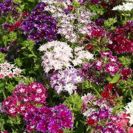 Annual Phlox Seeds - Twinkle Mix