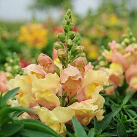 Snapdragon Seeds - Appleblossom