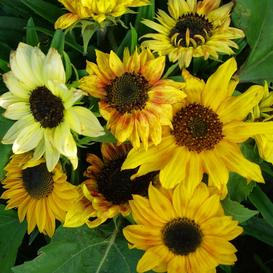 Sunflower Seeds (Dwarf) - Distino Mix