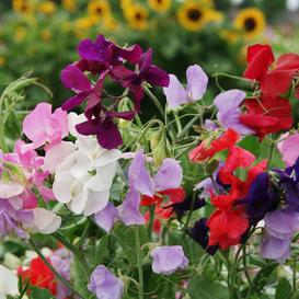 Sweet Pea Seeds - Royal Mix