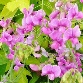 Everlasting Pea Seeds - 1 Pound