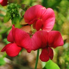 Everlasting Pea Seeds - Red