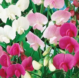 Everlasting Pea Seeds - Mixed