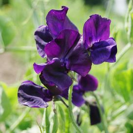 Sweet Pea Seeds - Royal Navy Blue