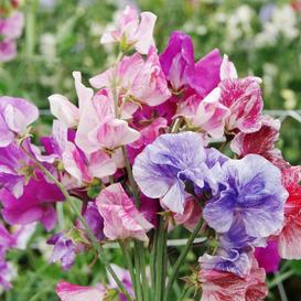Sweet Pea Seeds - Streamer Mix