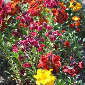 English Wallflower Seeds - Packet