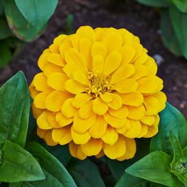 Zinnia Seeds - Canary Bird - 1 Pound