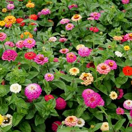 Zinnia Seeds - Pumila / Cut & Come Again - Packet