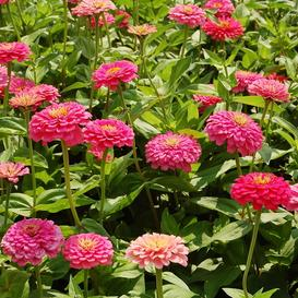 Zinnia Seeds - Exquisite