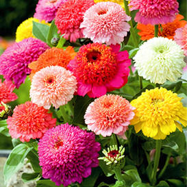 Zinnia Seeds - Scabiosa Flowered Mix