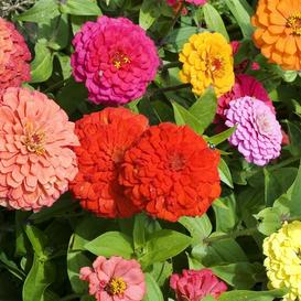 Zinnia Seeds (Dwarf) - Pepito Mix