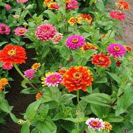Zinnia Seeds - Swirls Mixed