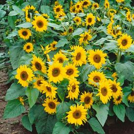 Sunflower Seeds (Dwarf) - Topolino
