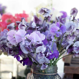 Sweet Pea Seeds - Purple Mix
