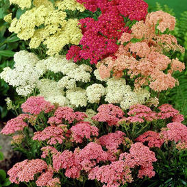 Yarrow Seeds - Colorado Mix
