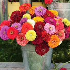 Zinnia Seeds - Benary Mix