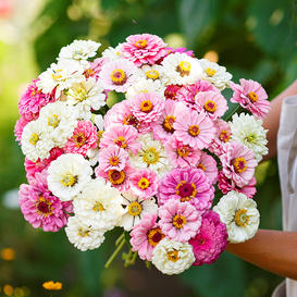 Zinnia Seeds - Isn't This Romantic Mix