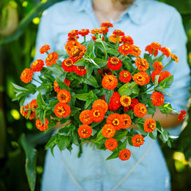 Zinnia Seeds - Lilliput Orange