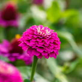 Zinnia Seeds - Lilliput Purple