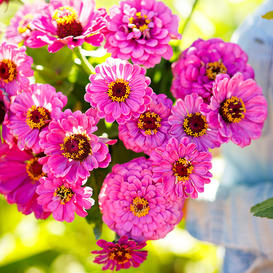 Zinnia Seeds - Violet Queen
