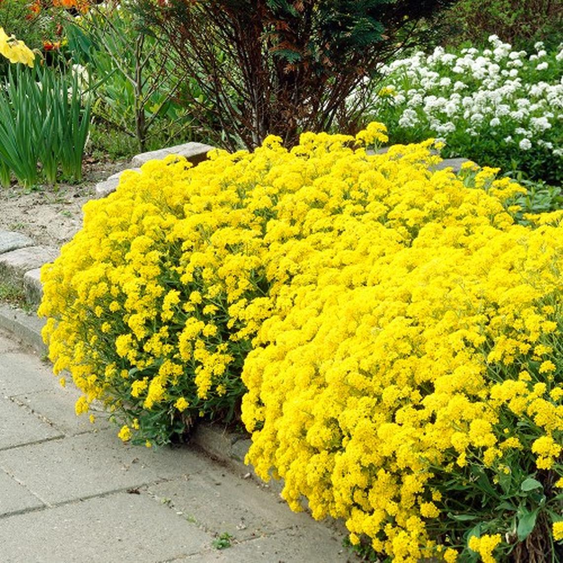 Alyssum Seeds - Basket of Gold - Packet