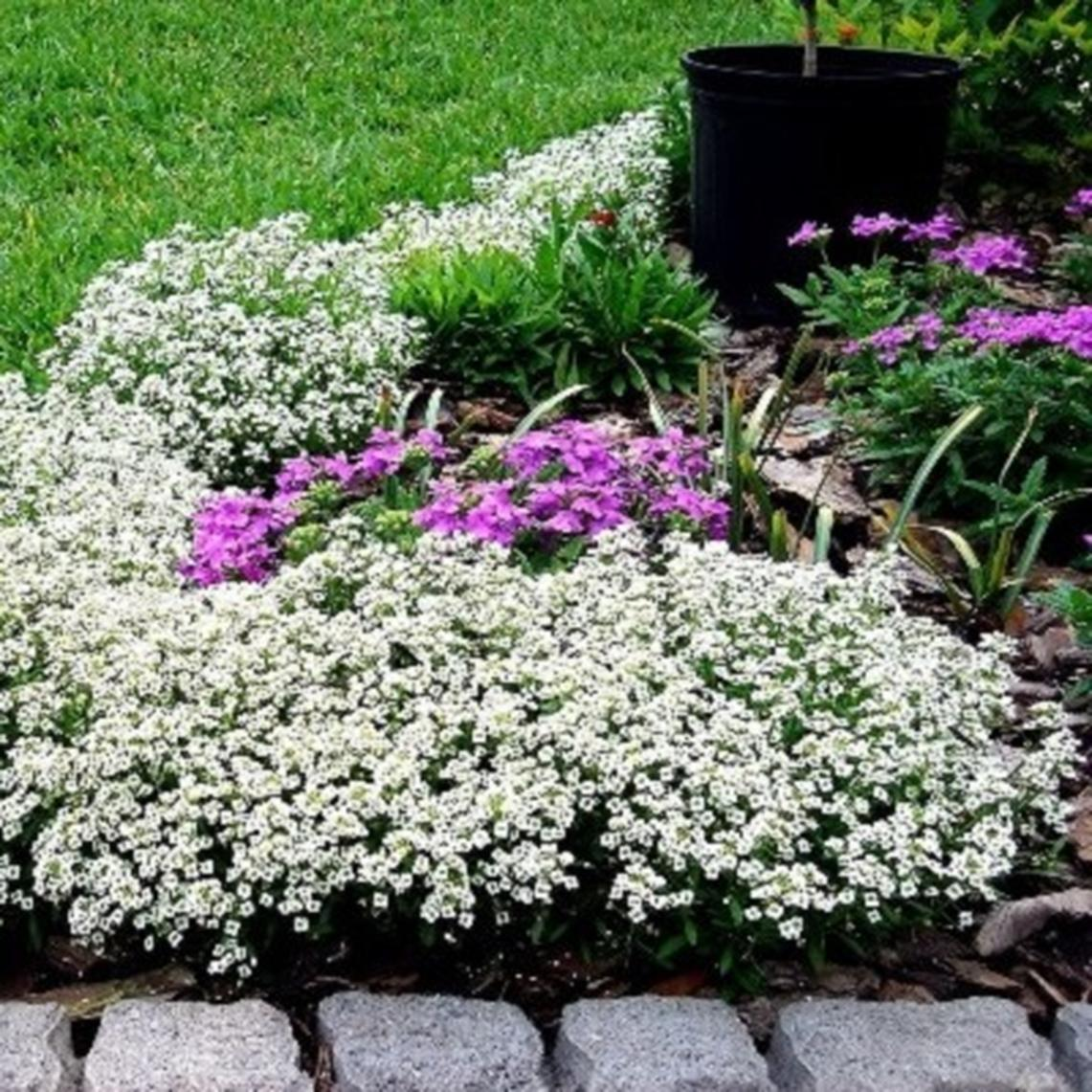 Sweet Alyssum Seeds - Carpet of Snow - Packet