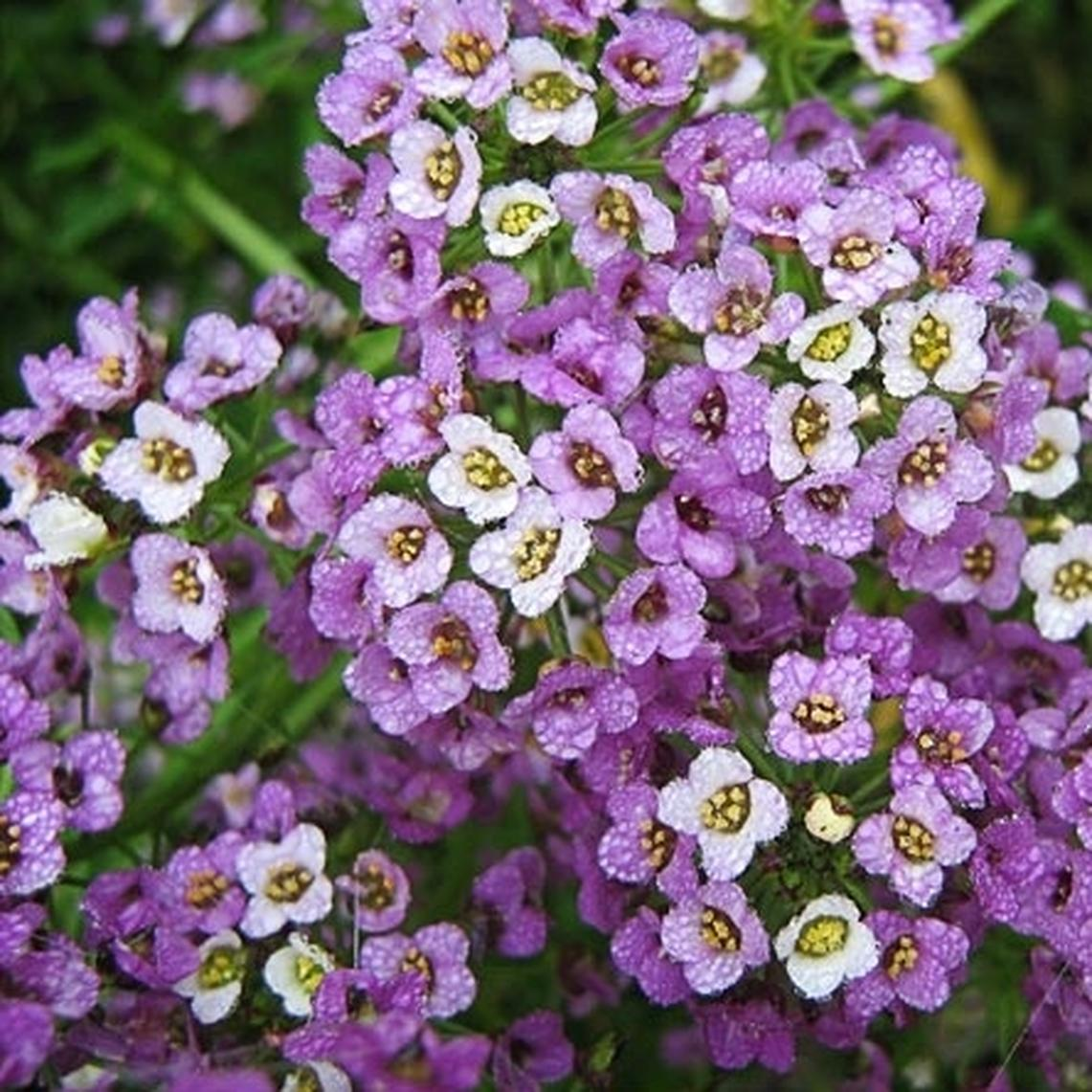 Sweet Alyssum Seeds (Dwarf) - Royal Carpet - Packet