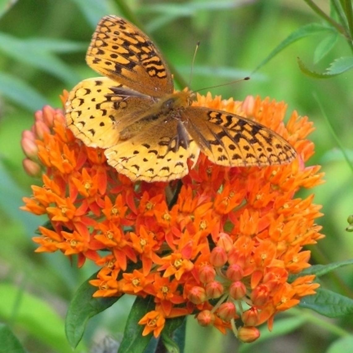Butterfly Milkweed Seeds - Ounce