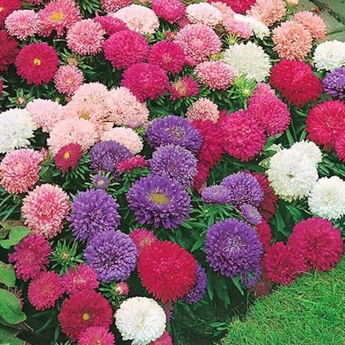 China Aster Seeds - Giants of California