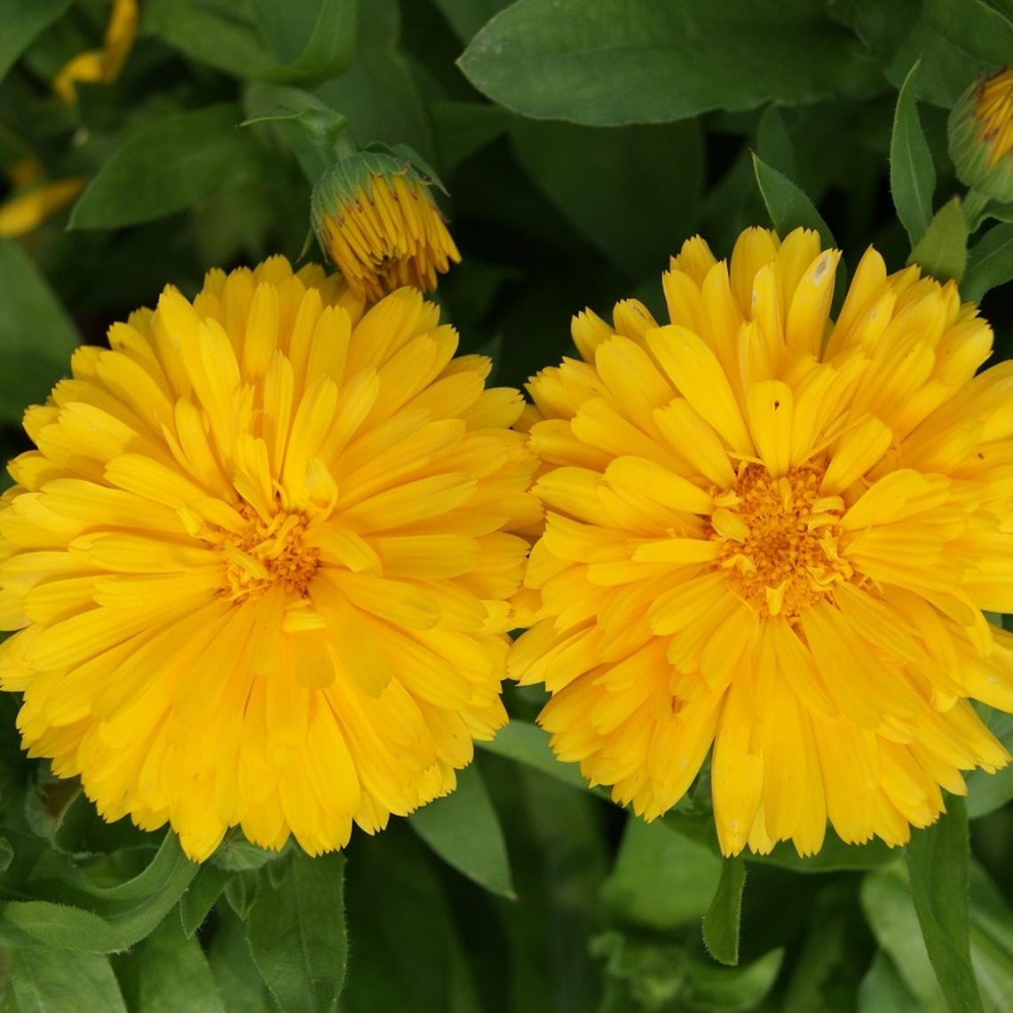 Calendula Seeds - Golden Emperor