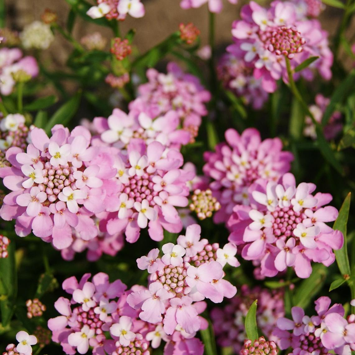 Candytuft Seeds - Rose Cardinal