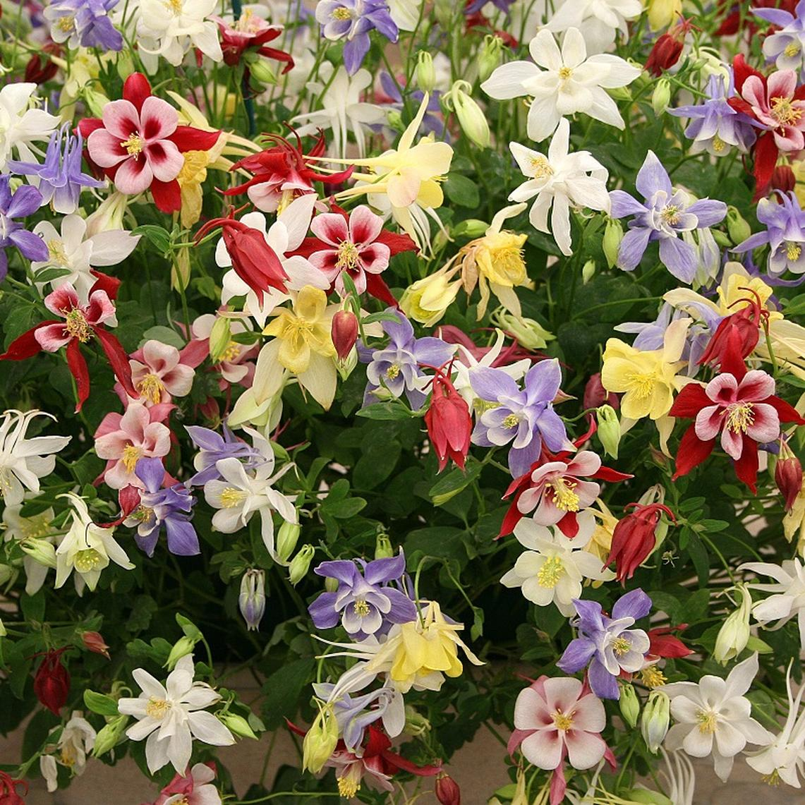 Columbine Seeds - McKana Giant Mix