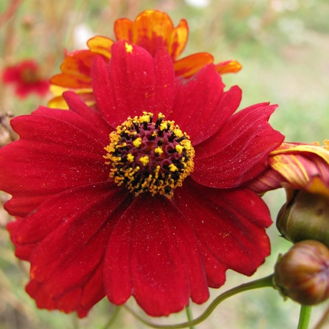 Plains Coreopsis Seeds - Tall Red