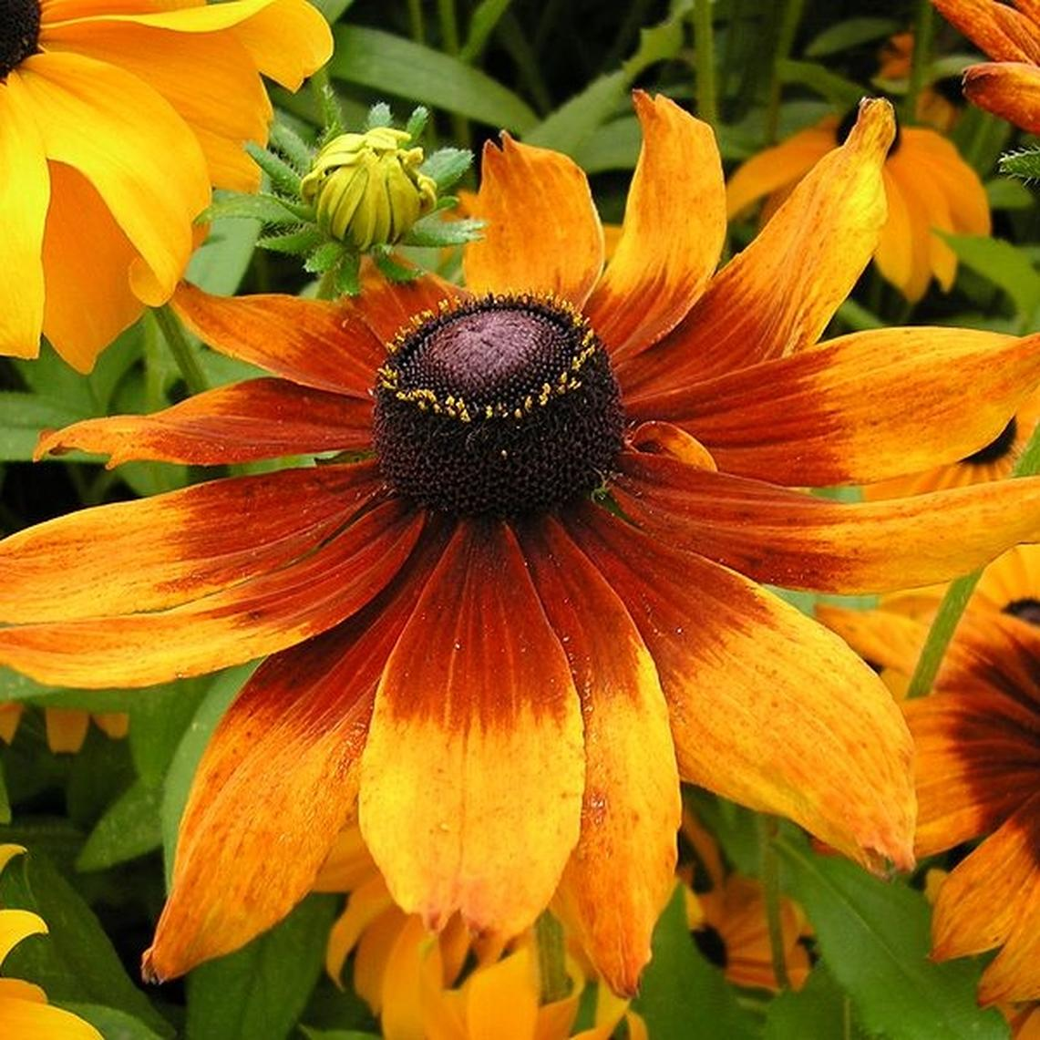 Gloriosa Daisy Seeds - Ounce