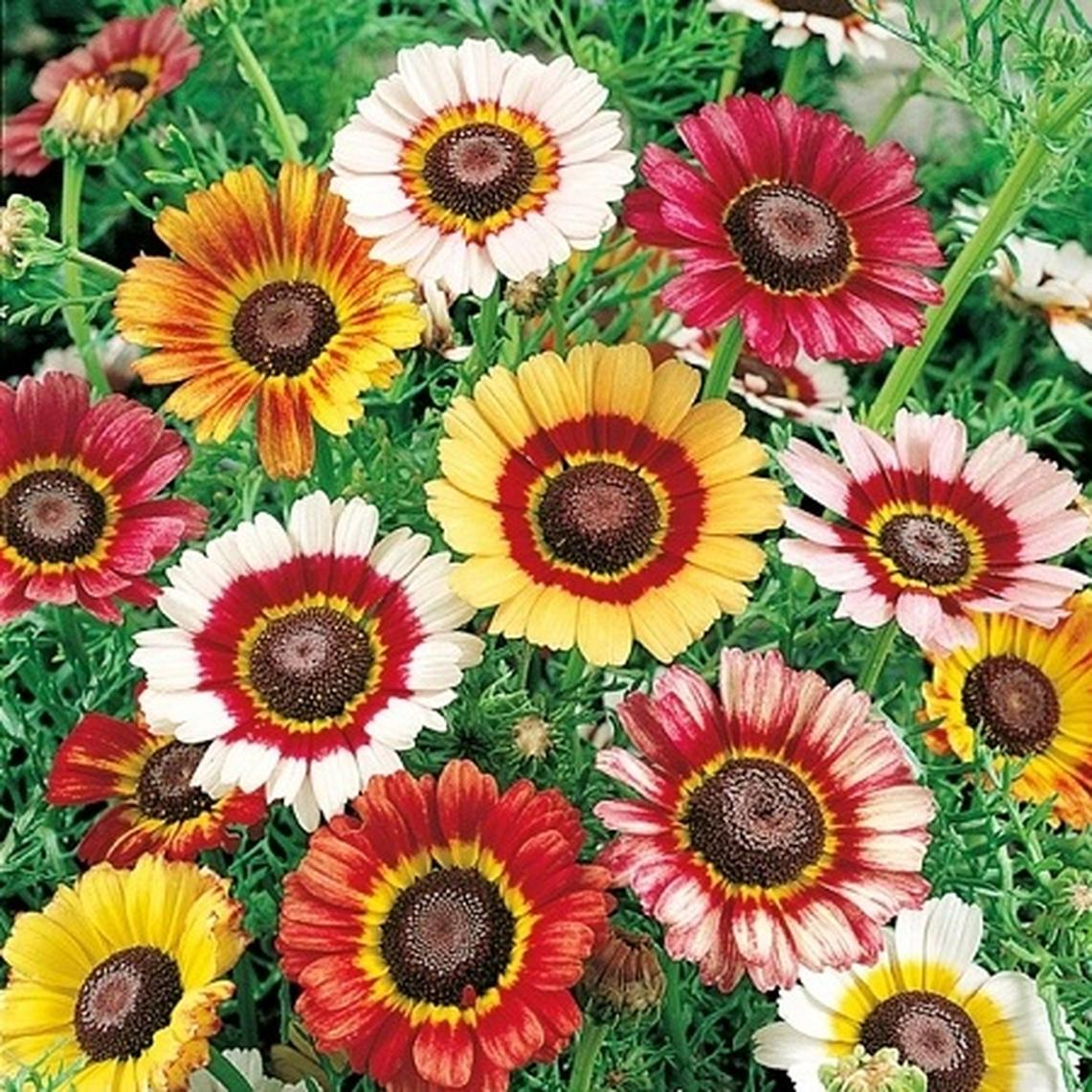 Painted Daisy Seeds - Ounce