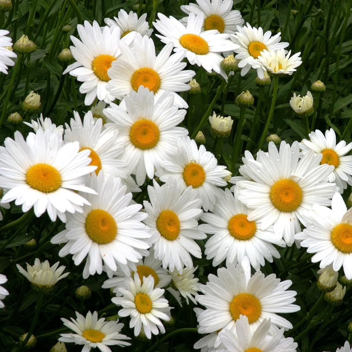 Shasta Daisy Seeds - Ounce
