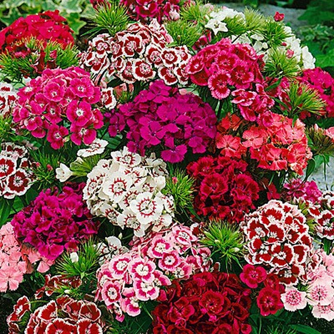 Sweet William Seeds - Indian Carpet Dwarf Single Mix