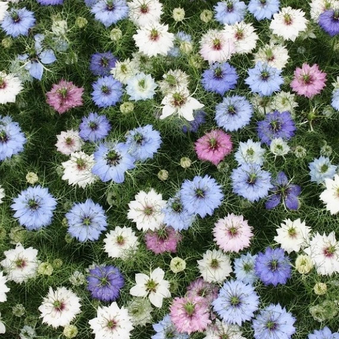 Love in a Mist Seeds - Mixed Colors - Ounce