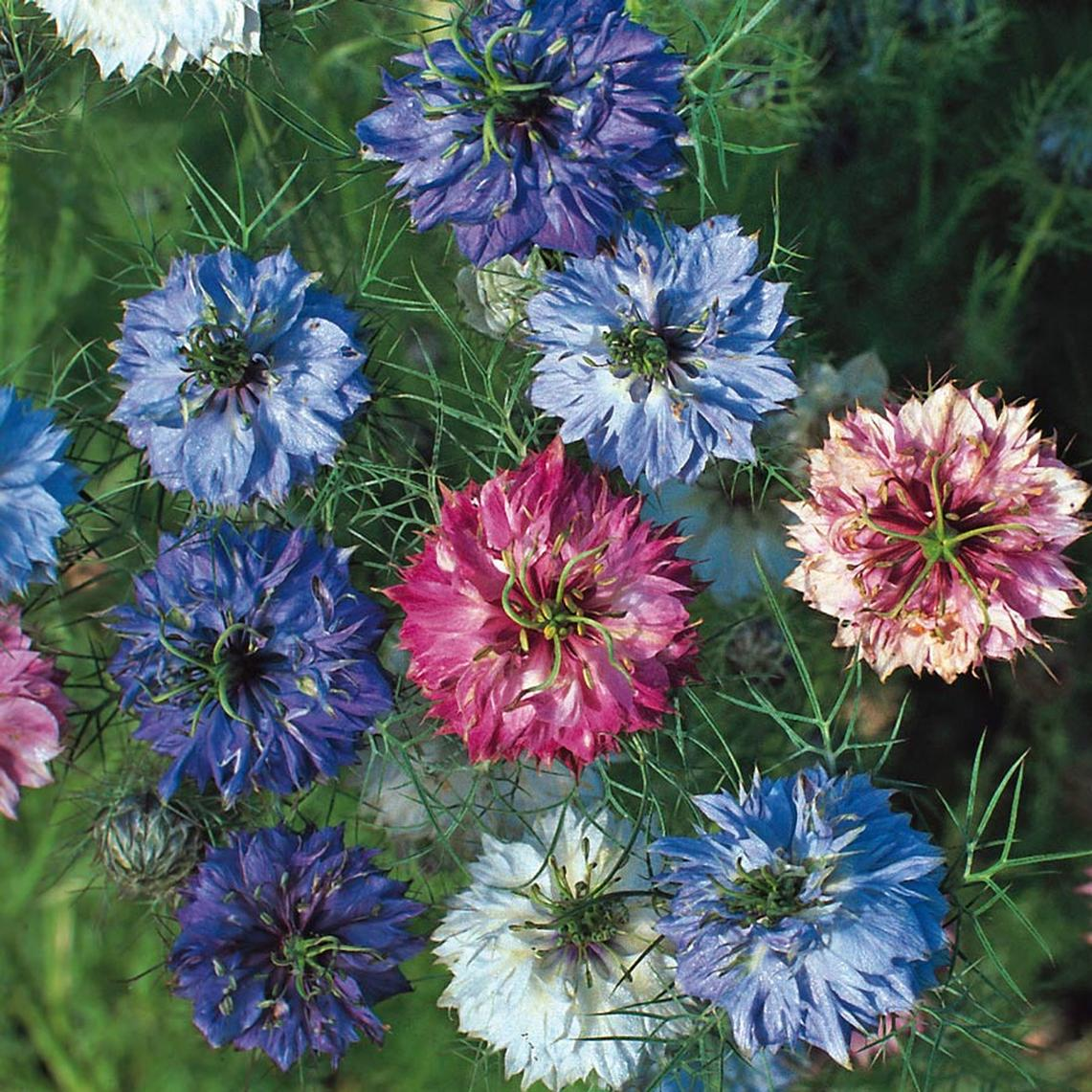 Love in a Mist Seeds - Miss Jekyll Double Mix