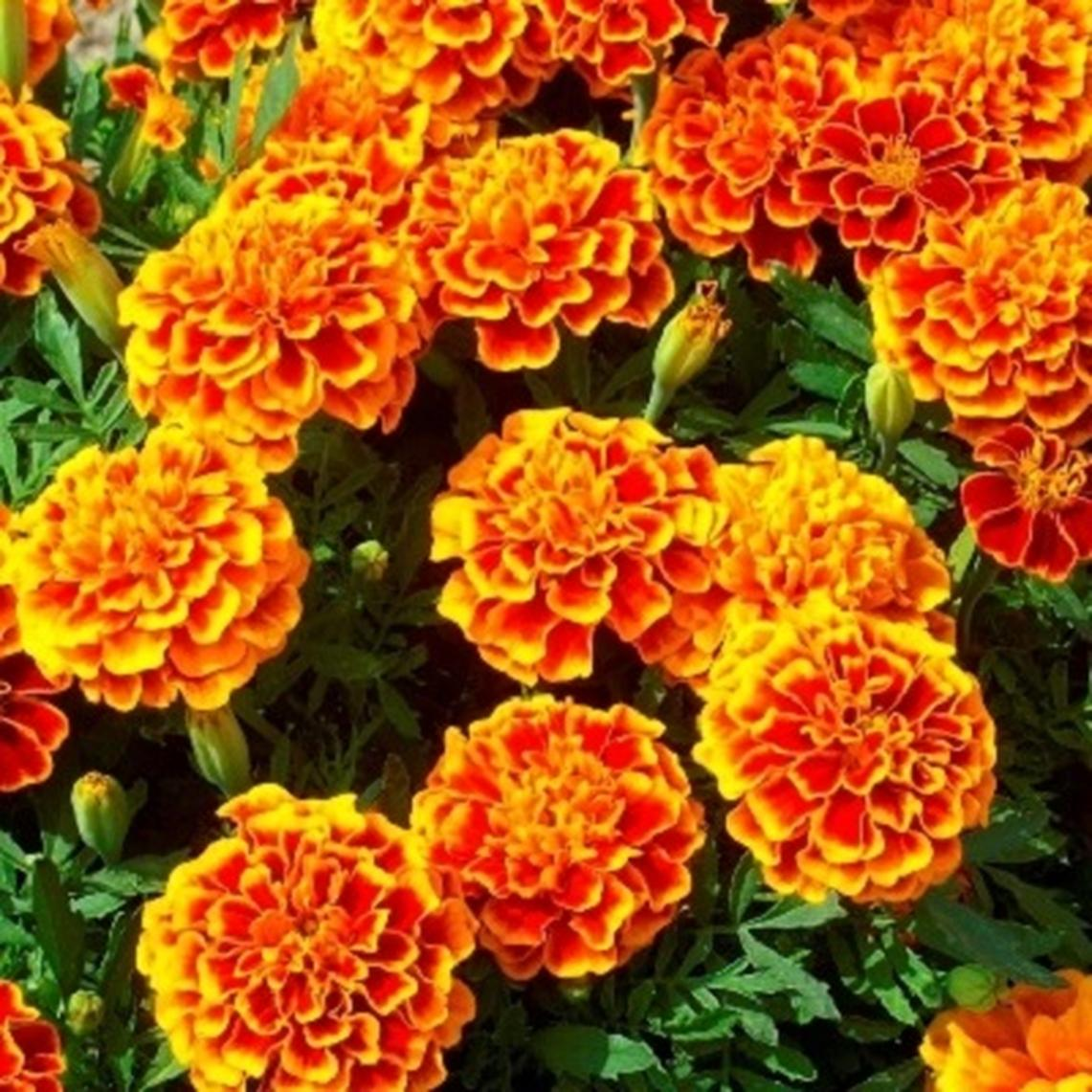 French Marigold (Double) Seeds - Fiesta