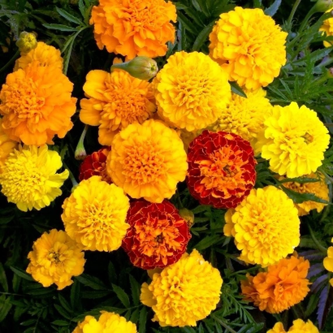 French Marigold (Dwarf) Seeds - Petite Mix