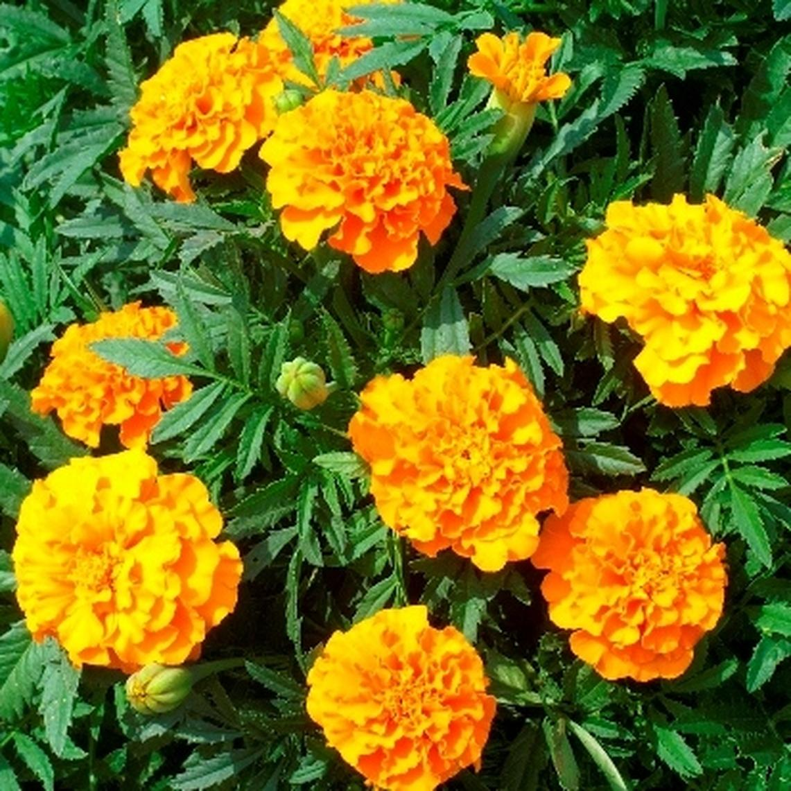 French Marigold (Double) Seeds - Tangerine