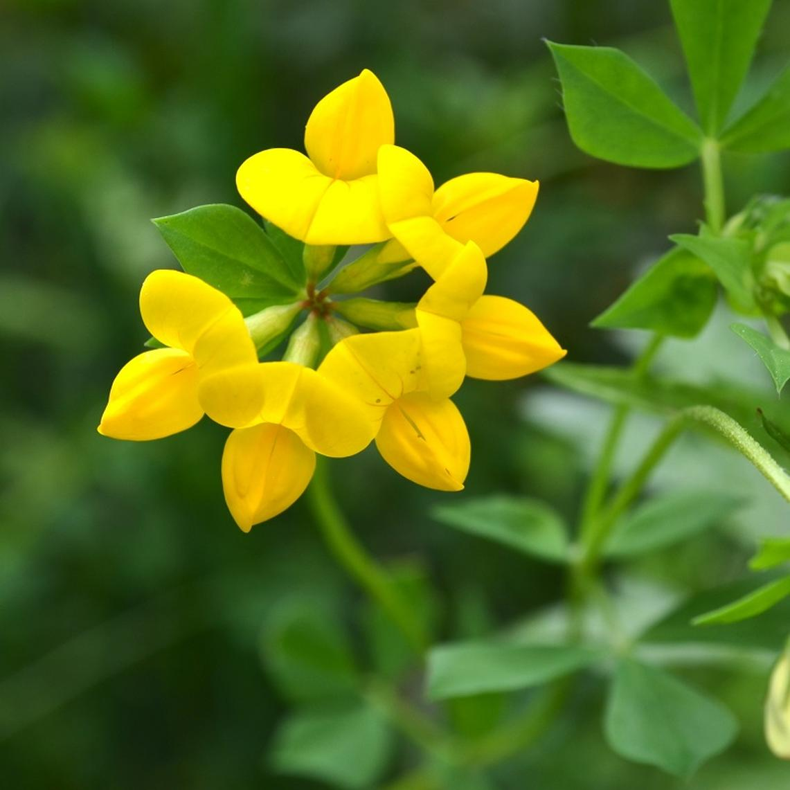 Birdsfoot Trefoil Seeds - Ounce
