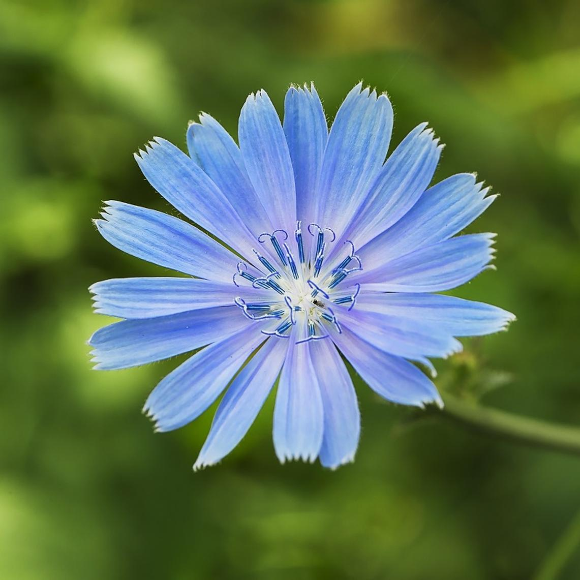 Chicory Seeds - Ounce