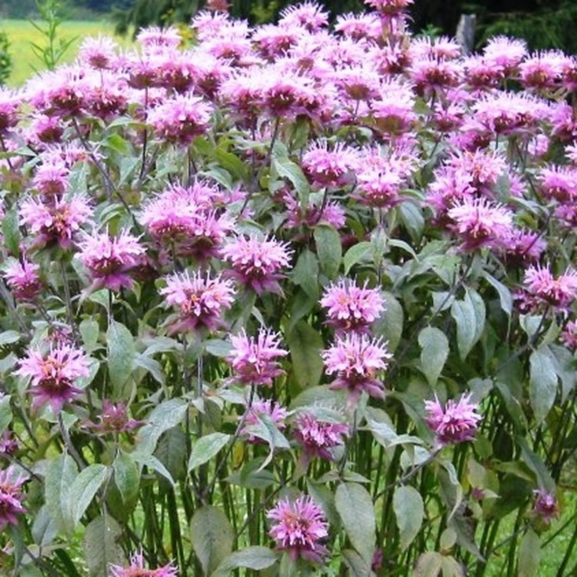 Bee Balm/Wild Bergamot Seeds - Ounce