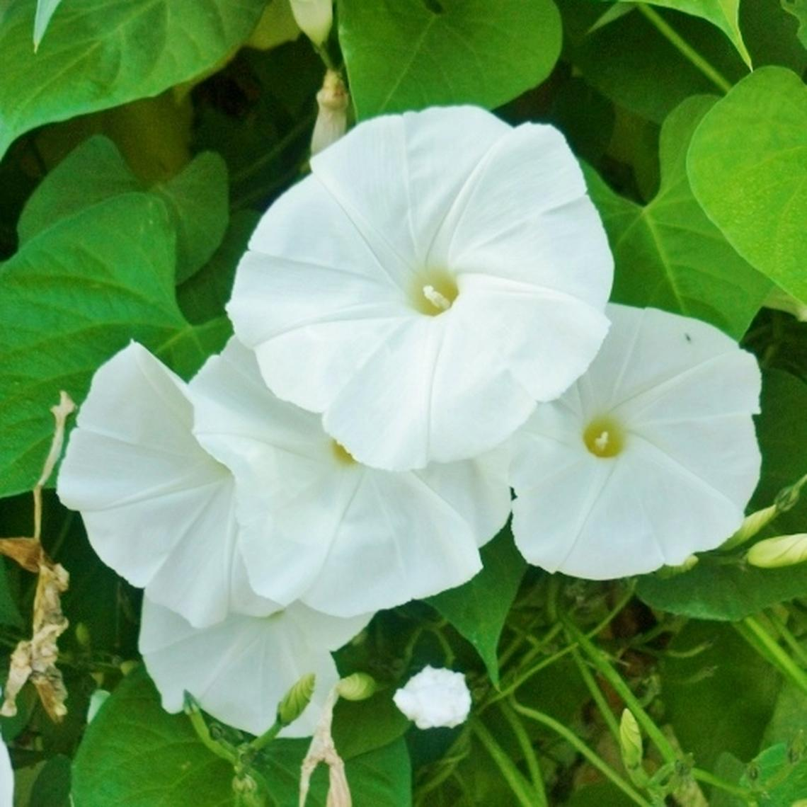Morning Glory Seeds - Pearly Gates