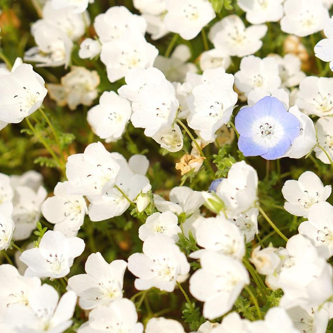 Nemophila Seeds - Snow White