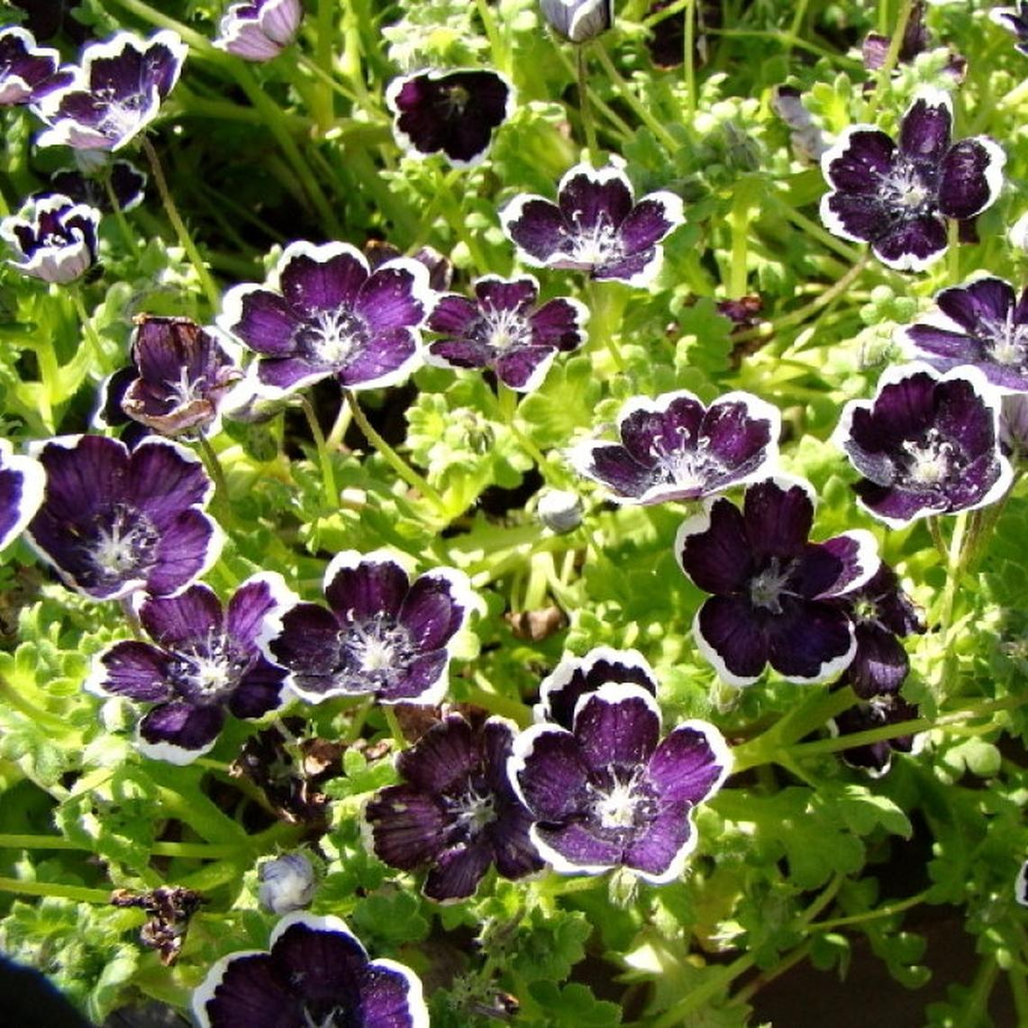 Nemophila Seeds - Penny Black