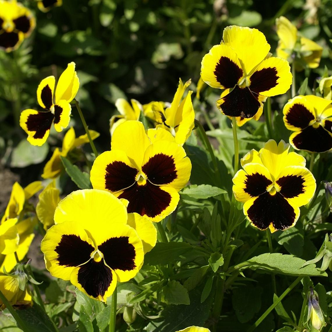 Pansy Seeds - Swiss Giants Rhinegold
