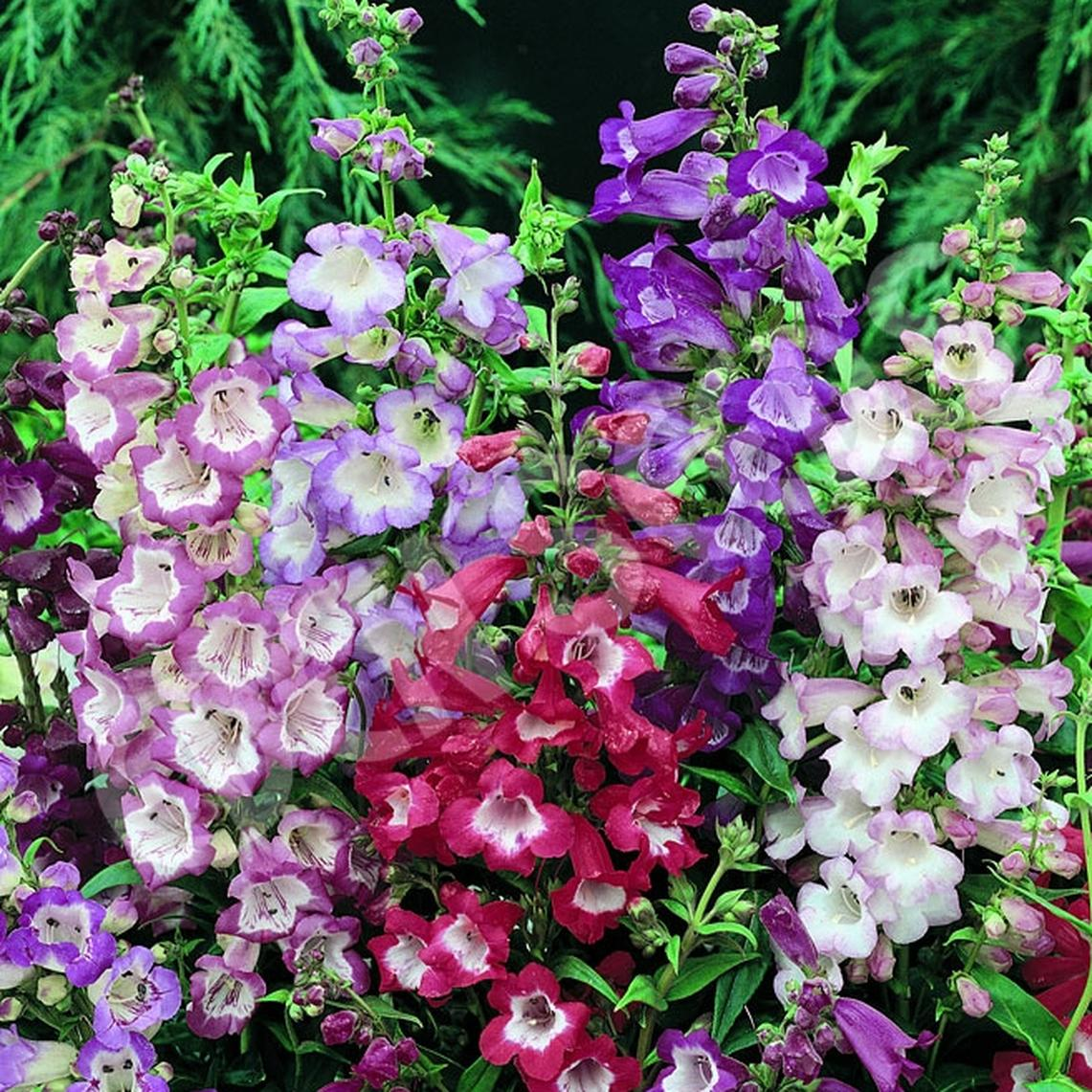 Penstemon Seeds - Sensation Mix